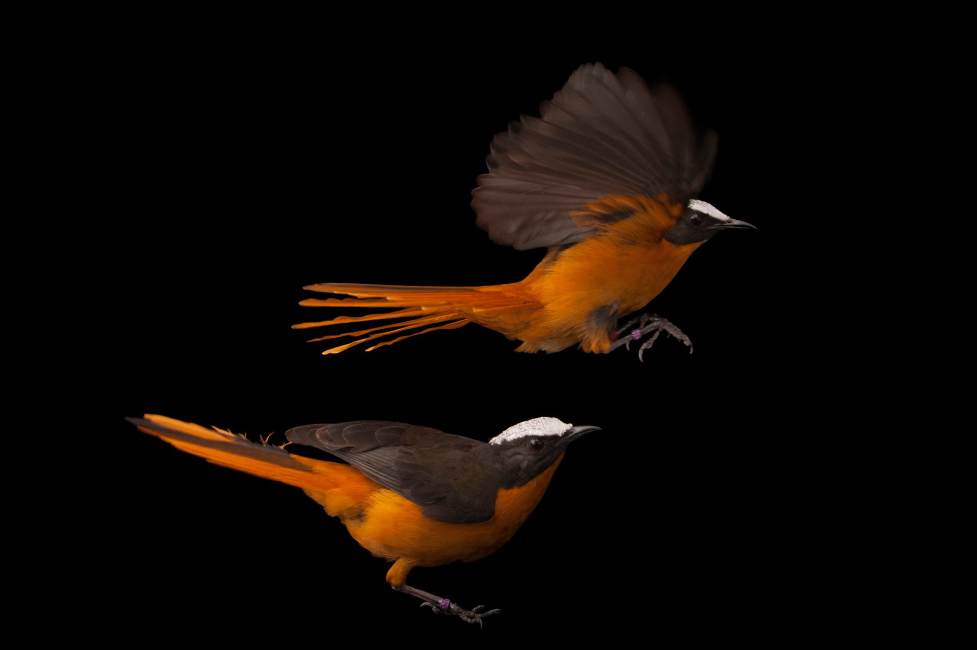 A pair of white-crowned robin-chats (Cossypha albicapillus albicapillus) at the Columbus Zoo.