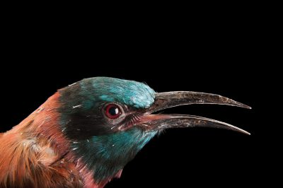 A northern carmine bee eater (Merops nubicus nubicus) at the Columbus Zoo.
