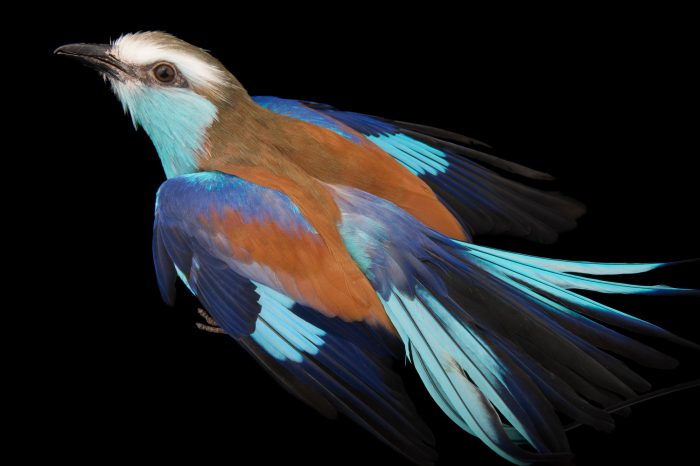 A racquet-tailed roller (Coracias spatulatus) at the Columbus Zoo.