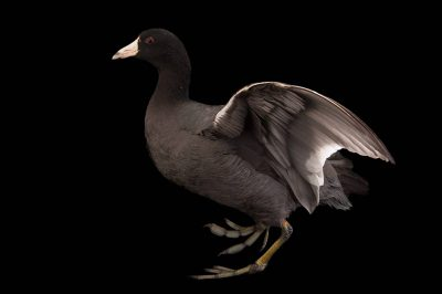 An American coot (Fulica americana) at the Columbus Zoo.