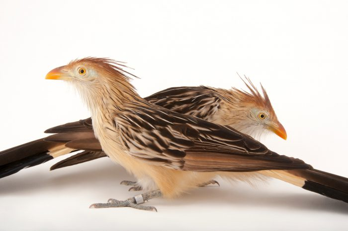 A pair of Guira cuckoos (Guira guira) at the Houston Zoo.