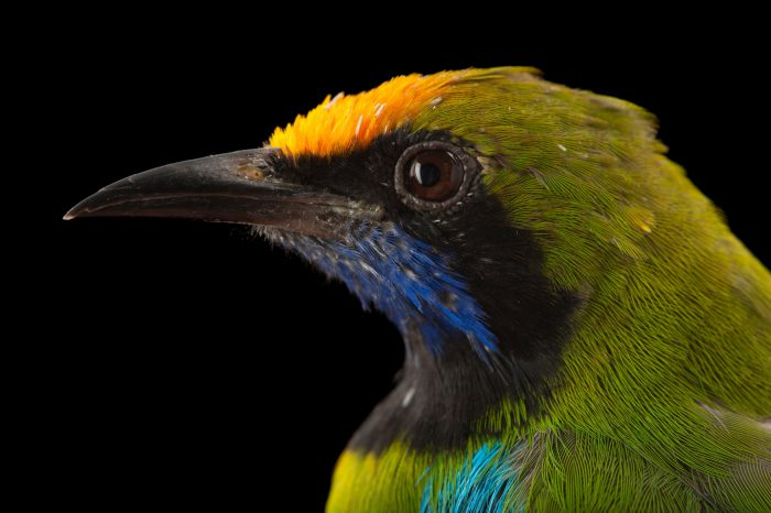 Golden-fronted leafbird (Chloropsis aurifrons) at the Houston Zoo.