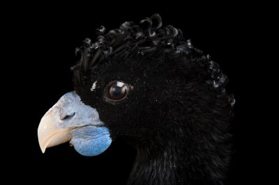 Picture of a critically endangered, male blue-knobbed curassow (Crax alberti) at the Houston Zoo