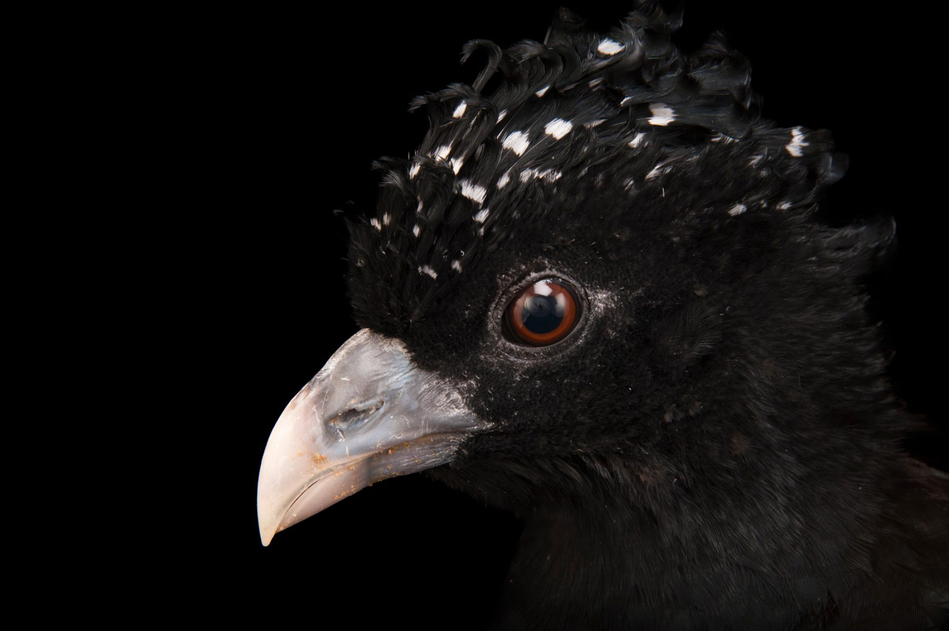 Picture of a critically endangered, female blue-knobbed curassow (Crax alberti) at the Houston Zoo