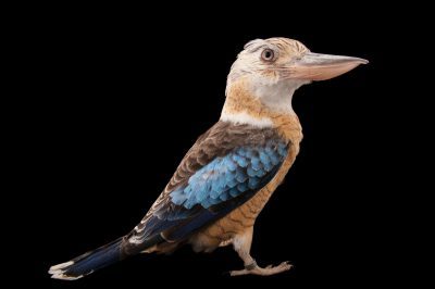 A blue-winged kookaburra (Dacelo leachii) at the Houston Zoo. This bird does not appreciate keepers in his enclosure and attacks by flying at their head. He enjoys only the company of his mate and makes threat displays at everyone passing by.