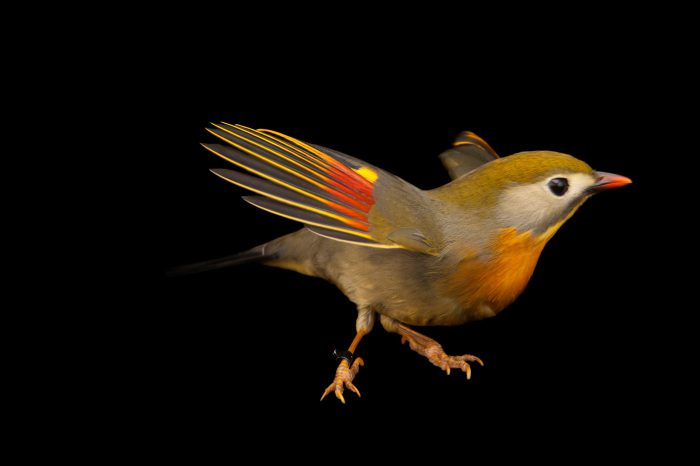 A red-billed leiothrix (Leiothrix lutea) at the Houston Zoo. This individual is very vocal and inquisitive.