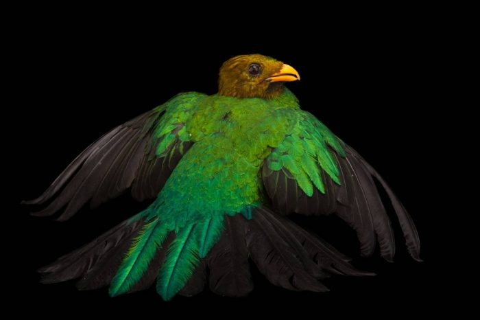 Picture of a golden-headed quetzal (Pharomachrus auriceps) at the Houston Zoo.