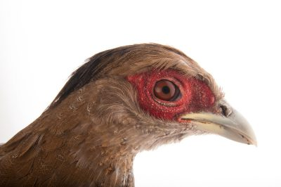 Picture of a silver pheasant hen (Lophura nycthemera) at the Houston Zoo.