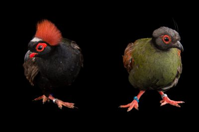 Picture of crested partridge (Rollulus rouloul) also known as the Crested wood partridge, at the Indianapolis Zoo.