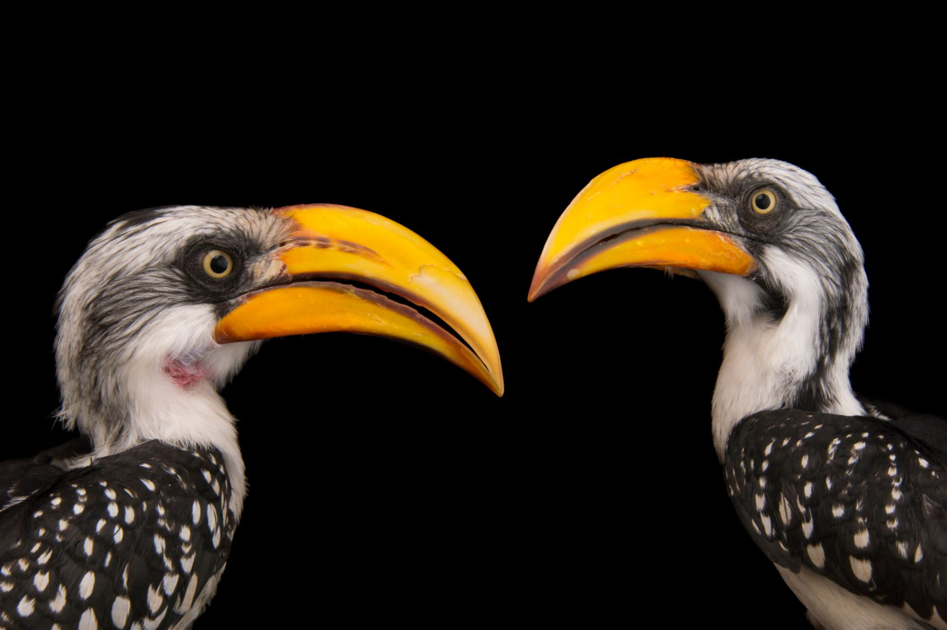 Eastern yellow-billed hornbill (Tockus flavirostris flavirostris) at the Indianapolis Zoo.