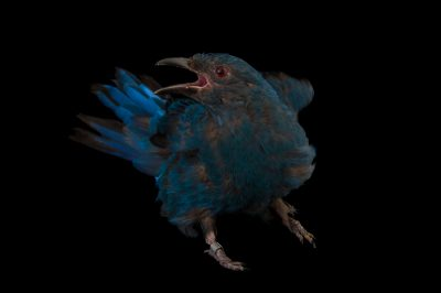 Picture of a female fairy-bluebird (Irena puella) at the Omaha Zoo.