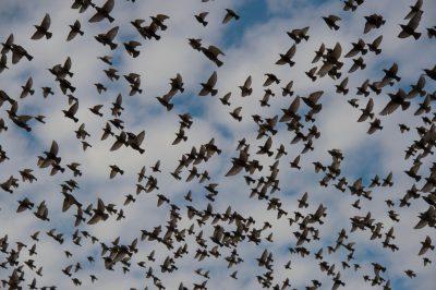 Photo: European starlings take flight in Lincoln, Nebraska.