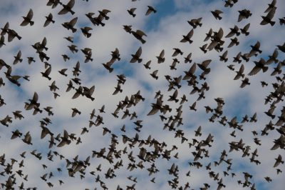 Photo: European starlings take flight in Lincoln, Nebraska.