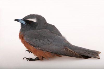 Photo: White-browed wood swallow (Artamus superciliosus) in Burpengary, Queensland, Australia.
