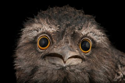 A tawny frogmouth (Podargus strigoides) at the Fort Worth Zoo.