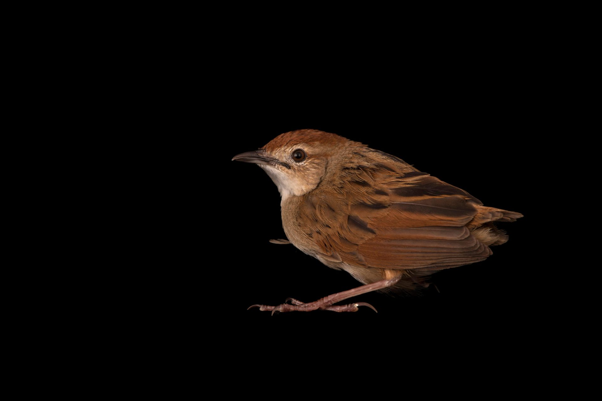 A little grassbird (Megalurus gramineus) from a Private Collection, in Queensland, Australia.