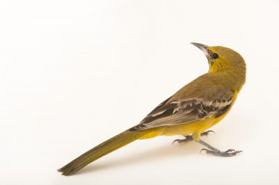 A hooded oriole (Icterus cucullatus) named Squirt at The Living Desert in Palm Desert, California.