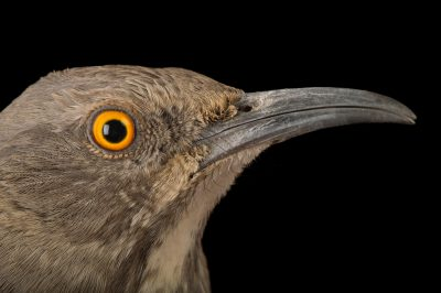 A curve-billed thrasher (Toxostoma curvirostre) named Albon at The Living Desert in Palm Desert, California.