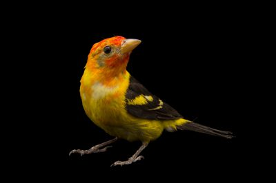A western tanager (Piranga ludoviciana) at The Living Desert in Palm Desert, California.