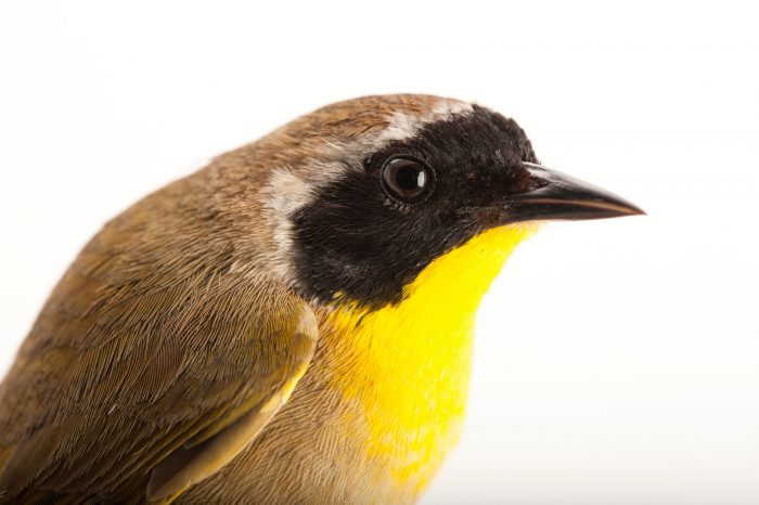 A common yellowthroat (Geothlypis trichas) at the Kissimmee Prairie Preserve State Park in Okeechobee, Florida.