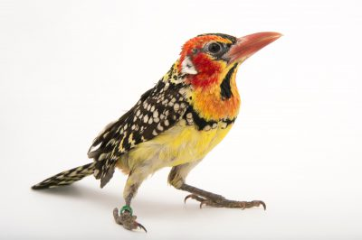 A red-and-yellow barbet (Trachyphonus erythrocephalus) at the Cincinnati Zoo.