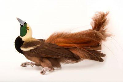 A Raggiana bird-of-paradise (Paradisaea raggiana) at the Cincinnati Zoo.