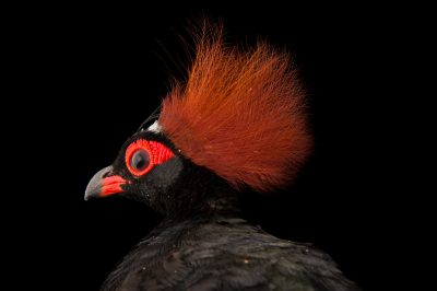 Picture of a crested partridge (Rollulus rouloul) at the Indianapolis Zoo.