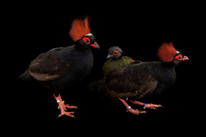 Picture of three crested partridges (Rollulus rouloul) at the Indianapolis Zoo.