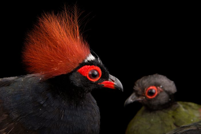 Picture of a pair of crested partridges (Rollulus rouloul) at the Indianapolis Zoo.
