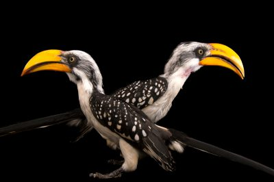 A pair of eastern yellow-billed hornbills (Tockus flavirostris flavirostris) at the Indianapolis Zoo.