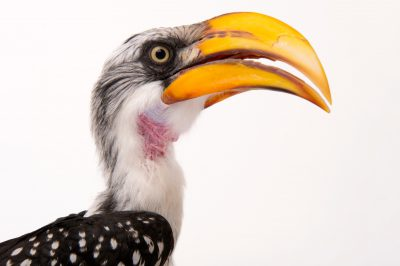 An eastern yellow-billed hornbill (Tockus flavirostris flavirostris) at the Indianapolis Zoo.