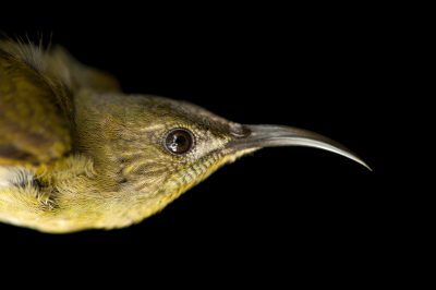 Olive sunbird (Cyanomitra olivacea) collected from the Mt. Gorongosa in Mozambique, Africa.