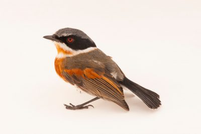 Cape batis (Batis capensis) from the Mt. Gorongosa range in Mozambique, Africa.