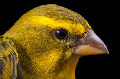 A bully canary (Serinus sulphuratus) from Mt. Gorongosa in Mozambique, Africa