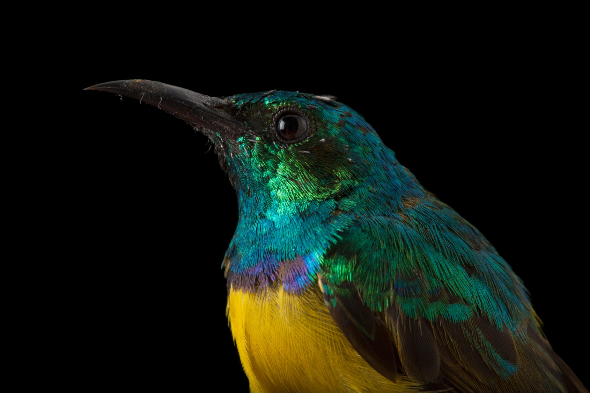 Collared sunbird (Hedydipna collaris) from Chitengo Camp in Gorongosa National Park in Mozambique, Africa.