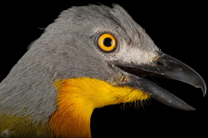 A grey-headed bushshrike (Malaconotus blanchoti hypopyrrhus) collected at Chitengo Camp in Gorongosa National Park in Mozambique, Africa