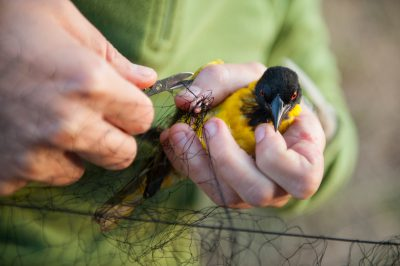 An African black-headed oriole (Oriolus larvatus tibicen) collected at Chitengo Camp in Gorongosa National Park in Mozambique, Africa.