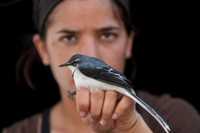 A mountain wagtail, also known as a long-tailed wagtail (Motacilla clara) in Gorongosa National Park in Mozambique, Africa.
