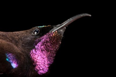 Amethyst sunbird (Chalcomitra amethystina) collected in Gorongosa National Park in Mozambique, Africa.