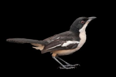 Photo: A southern boubou (Laniarius ferrugineus) collected in Gorongosa National Park in Mozambique, Africa.