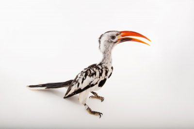A Northern red-billed hornbill (Tockus erythrorhynchus erythrorhynchus) at Omaha's Henry Doorly Zoo and Aquarium, Omaha, Nebraska.