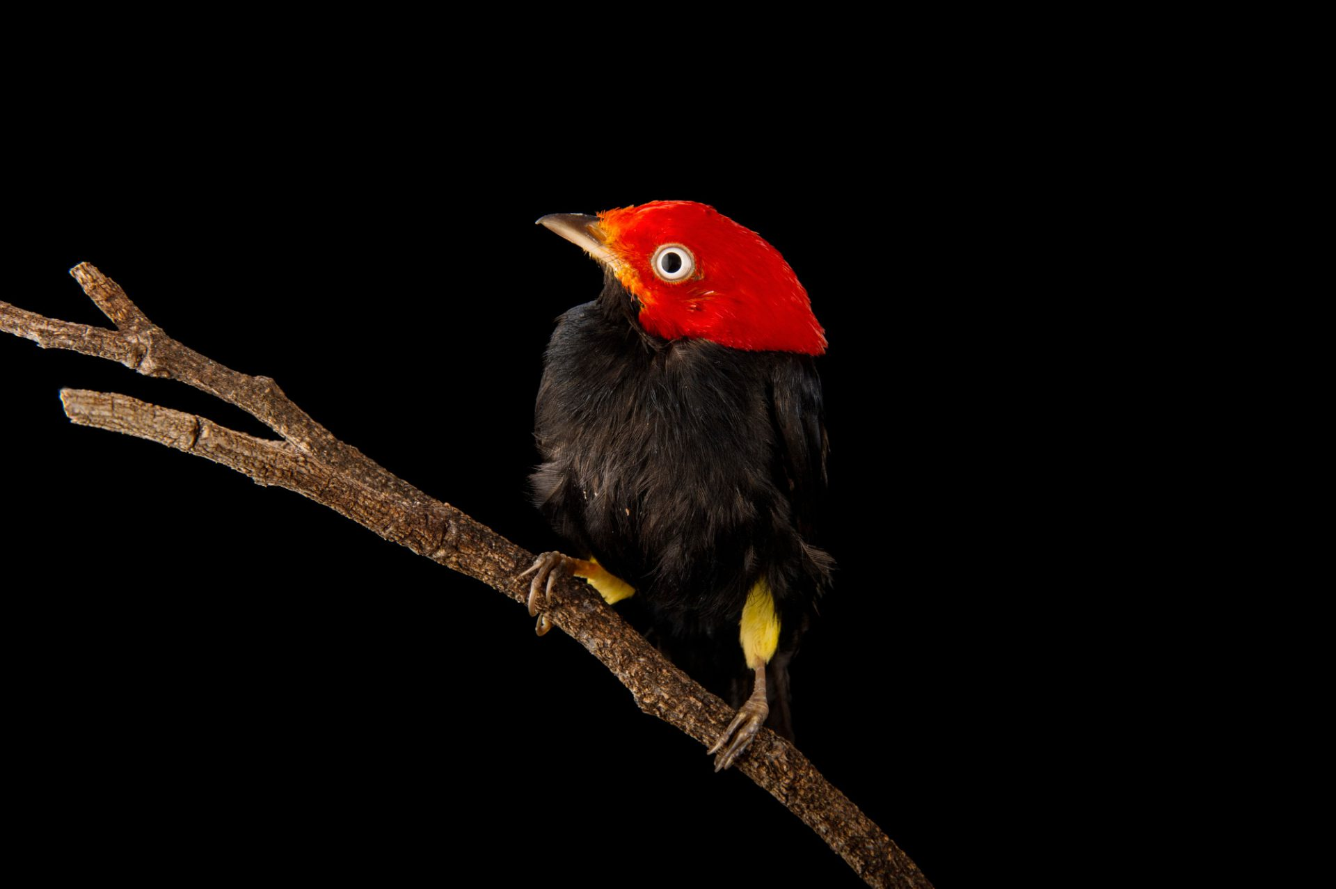 Picture of a red-capped manakin (Pipra mentalis) at the Dallas World Aquarium.