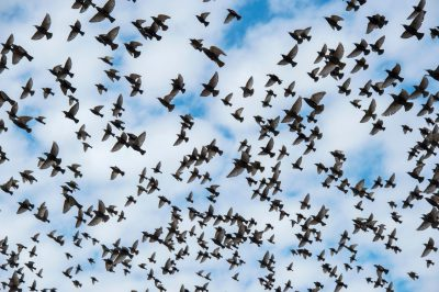 Photo: Starlings in flight in Lincoln, Nebraska.