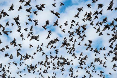 Photo: Starlings in flight in Lincoln, Nebraska.