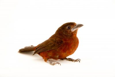 Picture of a female silver-beaked tanager (Ramphocelus carbo) at the Tulsa Zoo.