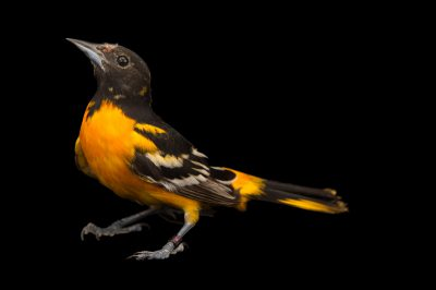 Picture of a Baltimore oriole (Icterus galbula) at the Columbus Zoo.