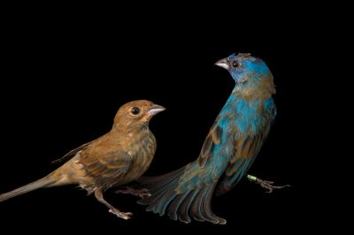 Picture of Indigo buntings (Passerina cyanea) at the Columbus Zoo.