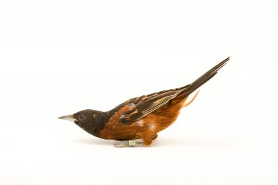 Picture of an Orchard oriole (Icterus spurius) at the Columbus Zoo.