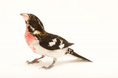 Picture of a Rose-breasted grosbeak (Pheucticus ludovicianus) at the Columbus Zoo.