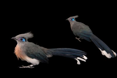 A pair of crested couas (Coua cristata) at Omaha's Henry Doorly Zoo and Aquarium.